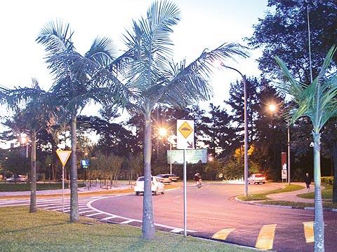 Invasão biológica de palmeiras australianas coloca em risco a mata nativa (foto: Francine Segawa)