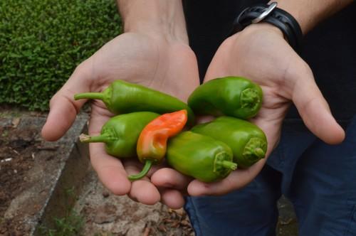 Pimentões produzidos na horta do Instituto de Energia e Ambiente (IEE) (foto: Barbara Monfrinato)