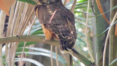 murucututu coruja Parque Esporte para Todos Natureza da USP Fauna Ave rara